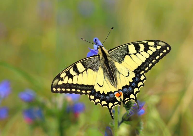 美好的swallowtail蝴蝶Papilio machaon 免版税库存图片