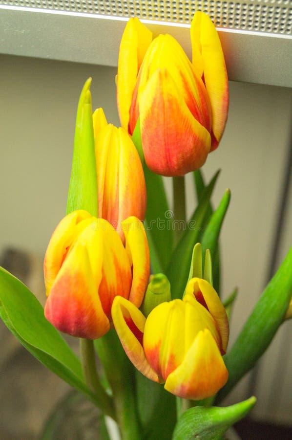 美好的yelow红色郁金香花 库存照片