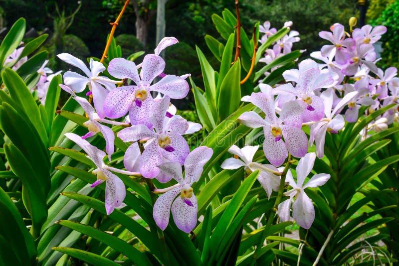 美好紫色兰花花卉生长在庭院里 图库摄影