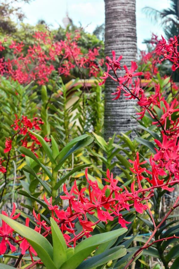 美好红色兰花花卉生长在庭院里 库存照片