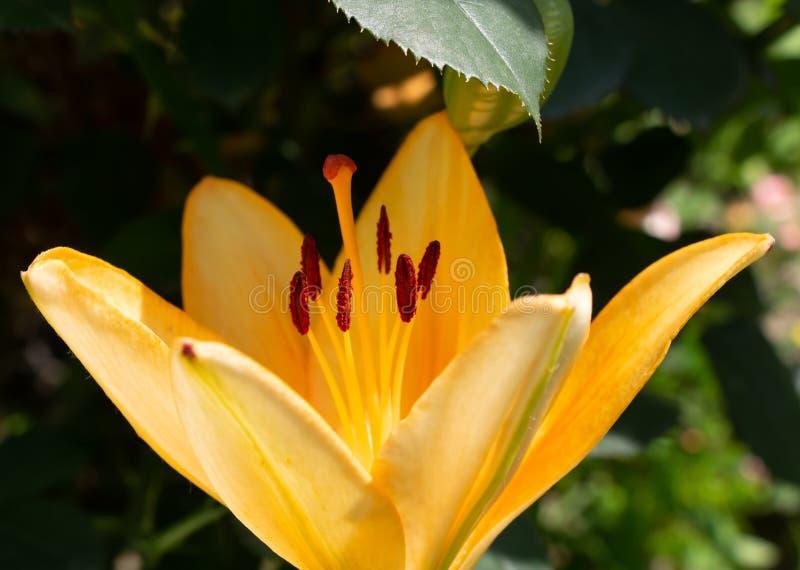 美好花卉生长在花圃,生日礼物里 库存图片