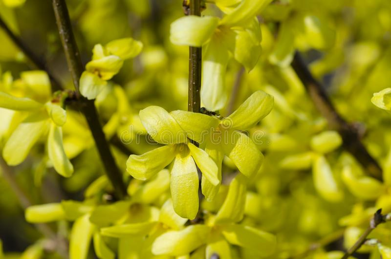 美好黄色开花边界连翘属植物 库存图片