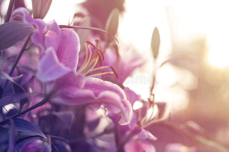 美好lilly开花在春天庭院里 免版税库存图片