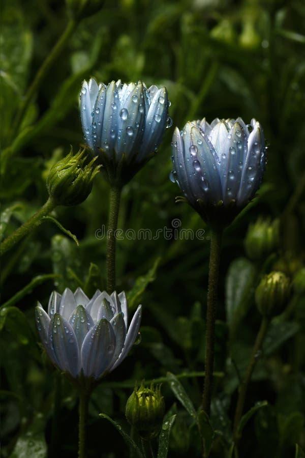 美妙地与雨珠的美丽的蓝色花 库存图片