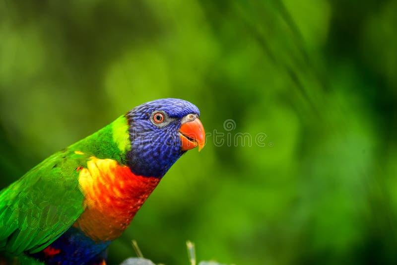 美妙地五颜六色的鹦鹉Lorys彩虹 免版税库存照片