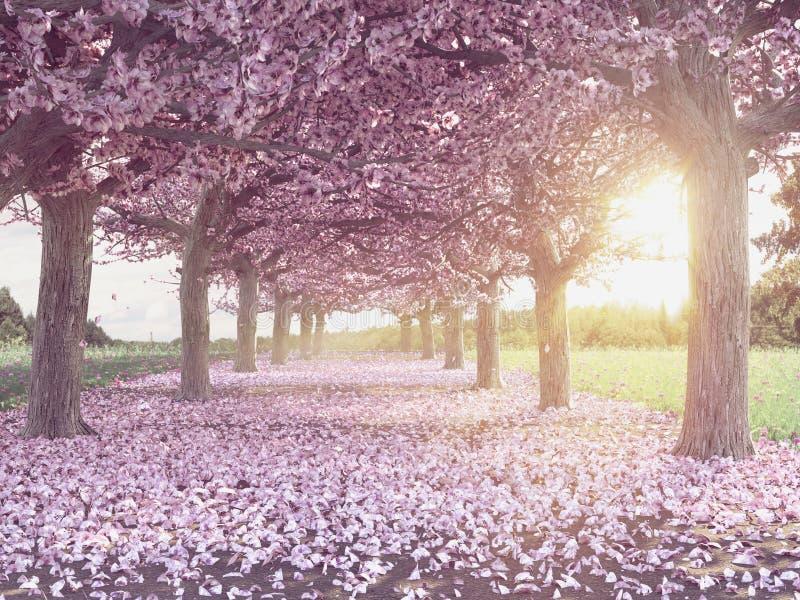 美妙地开花的樱桃树行  免版税库存照片