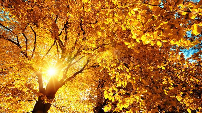 美妙地照亮山毛榉树的秋天太阳 库存照片