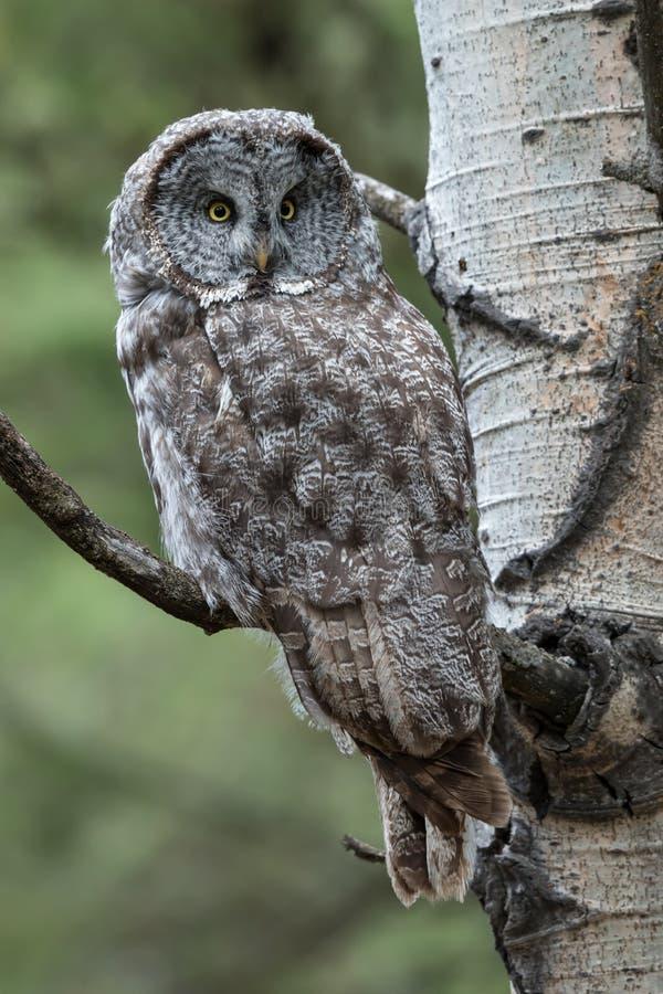 美妙地被伪装的巨大灰色猫头鹰 免版税库存图片