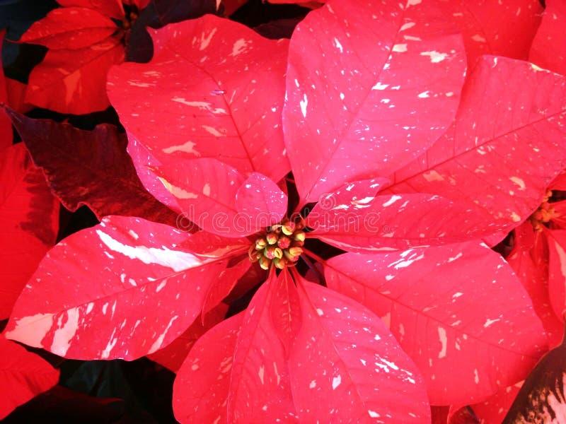 美妙的一品红花 免版税图库摄影