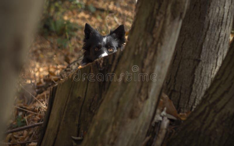 美妙的博德牧羊犬小狗使用愉快地掩藏在森林和秋叶的树中 库存图片