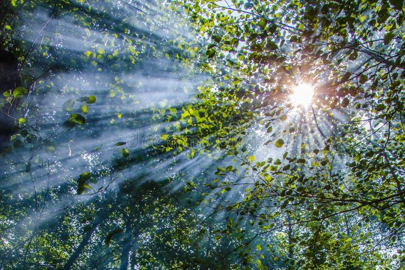 美妙的太阳在落叶林里发出光线击穿在阔叶烟草的树的分支和叶子中在一个热的夏日 免版税库存图片