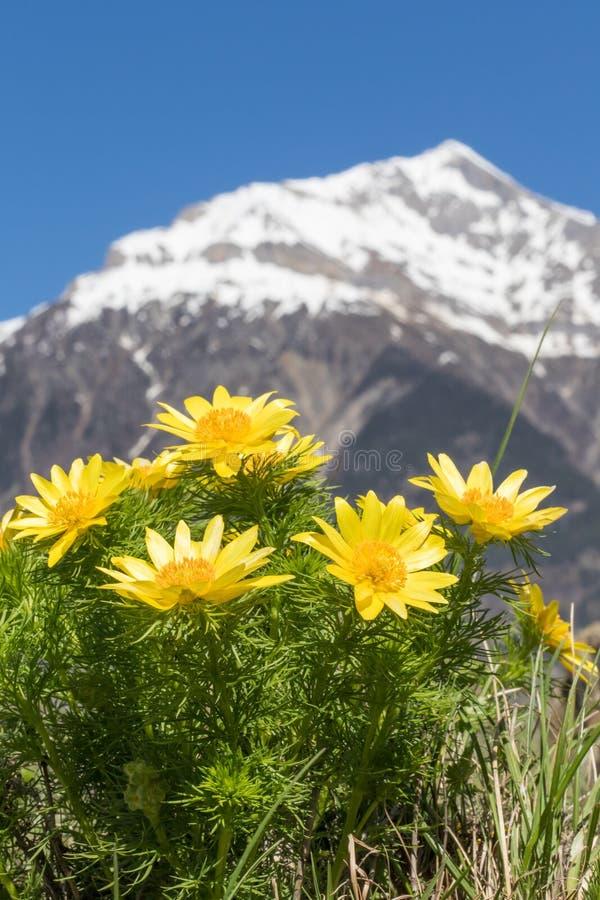 美妙的春天野鸡` s在背景中注视-亚多尼斯vernalis -与瑞士阿尔卑斯 免版税库存照片