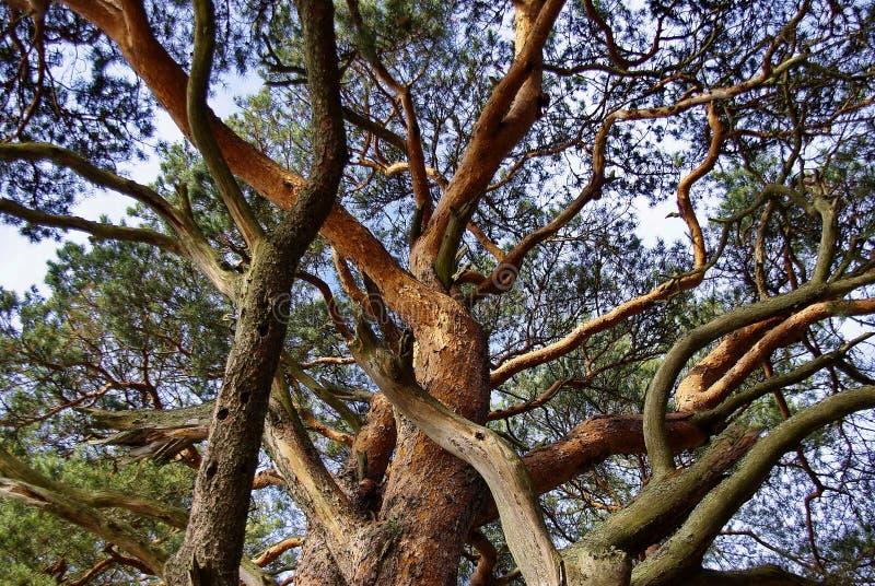 美妙的杉木 免版税库存照片