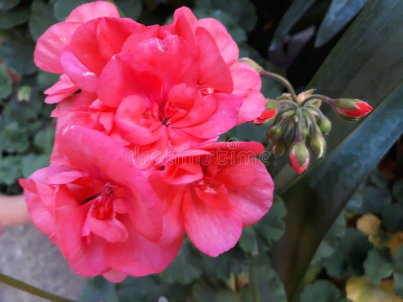 美妙的桃红色花在施托尔科市镇在德国 免版税图库摄影