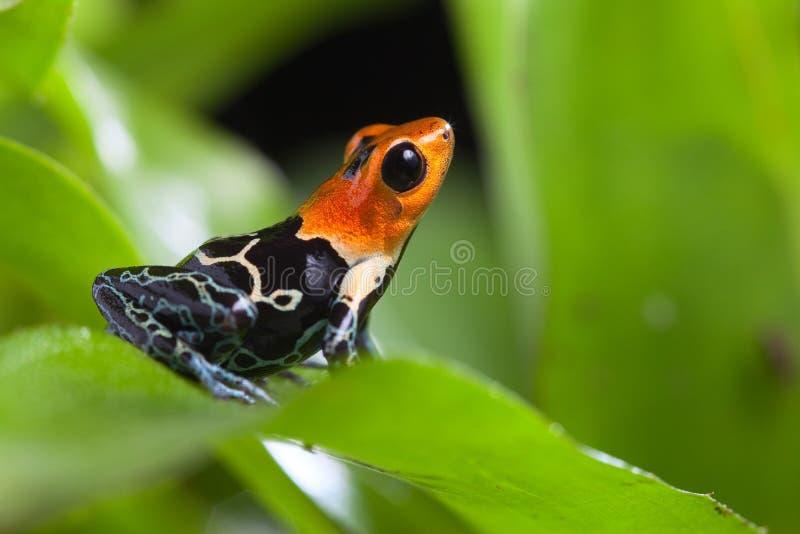 美妙的毒物箭青蛙 免版税库存照片