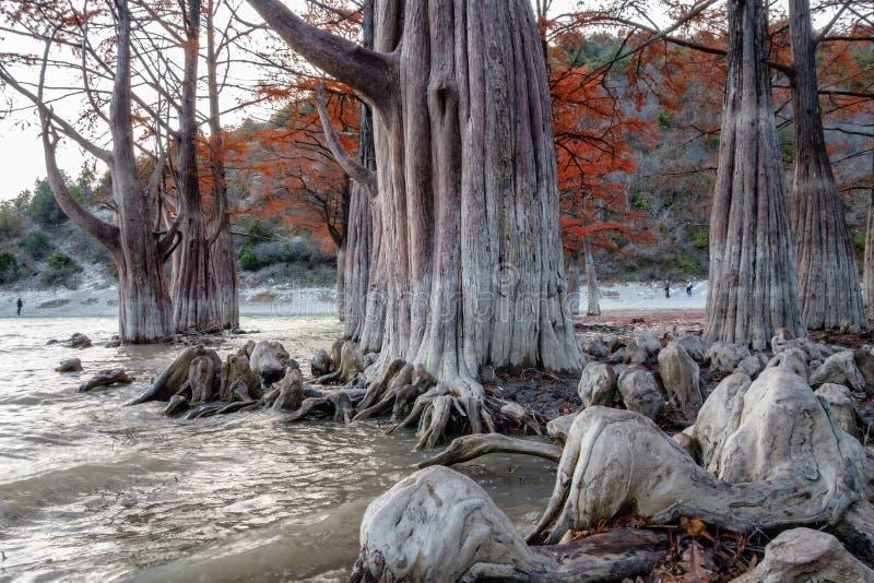 美妙的红色落羽杉树木头在Sukko湖阿纳帕,俄罗斯 美好的剧烈的秋天风景风景 库存照片