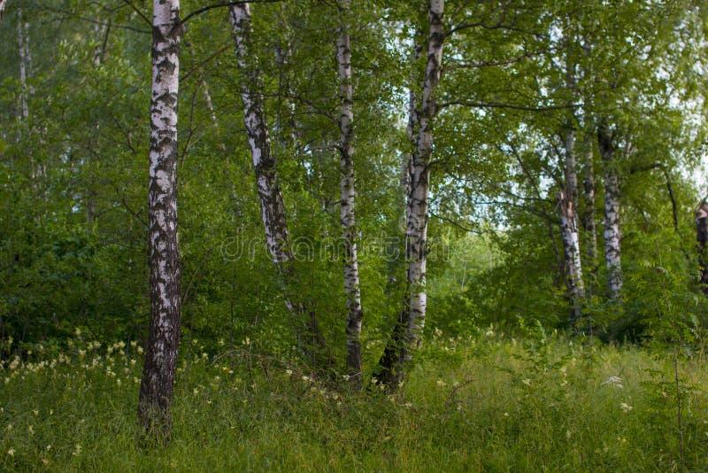 美妙的绿色森林 免版税库存图片