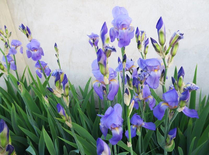 美妙的蓝色虹膜在6月 免版税图库摄影