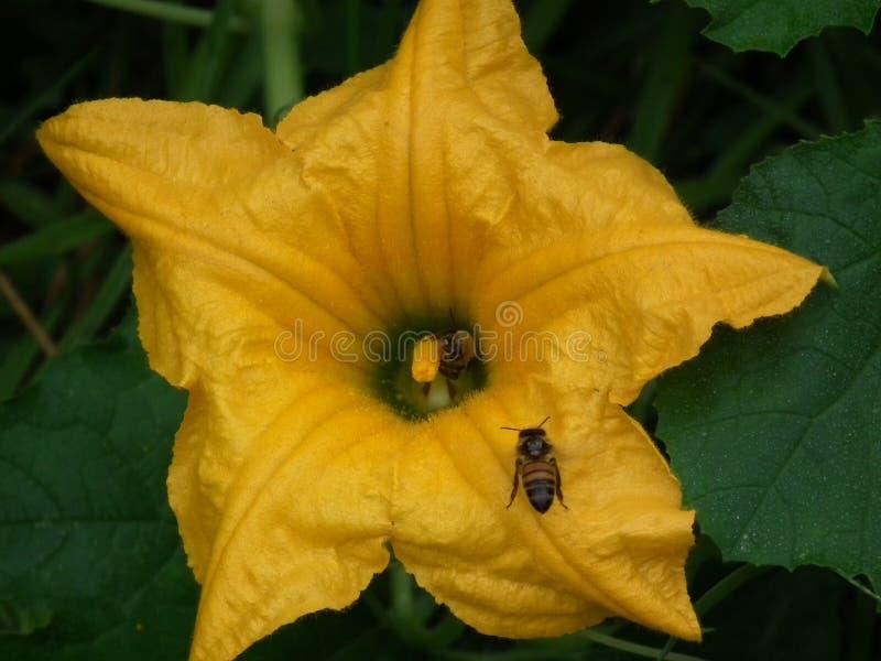 美妙的蜜蜂 免版税库存照片