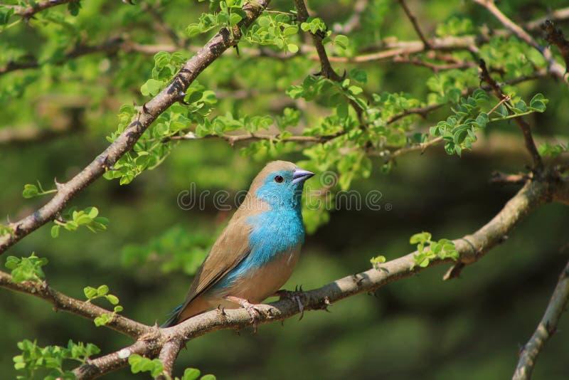 美妙的颜色-蓝色Waxbill鸟 库存图片