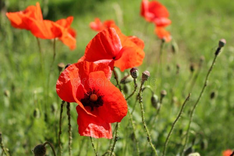 美妙的风景,在鸦片开花的领域的庄严看法在一个夏日 红色花的巨大的领域 视图 免版税图库摄影