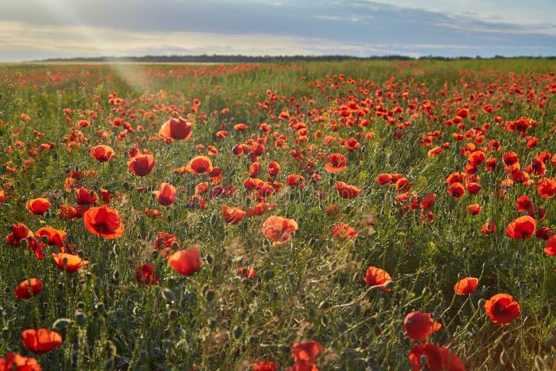 美妙的鸦片领域,在日出的夏天风景 免版税库存照片