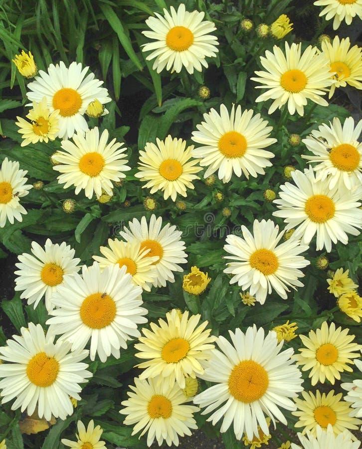 美妙的黄色海角延命菊雏菊花 免版税库存图片