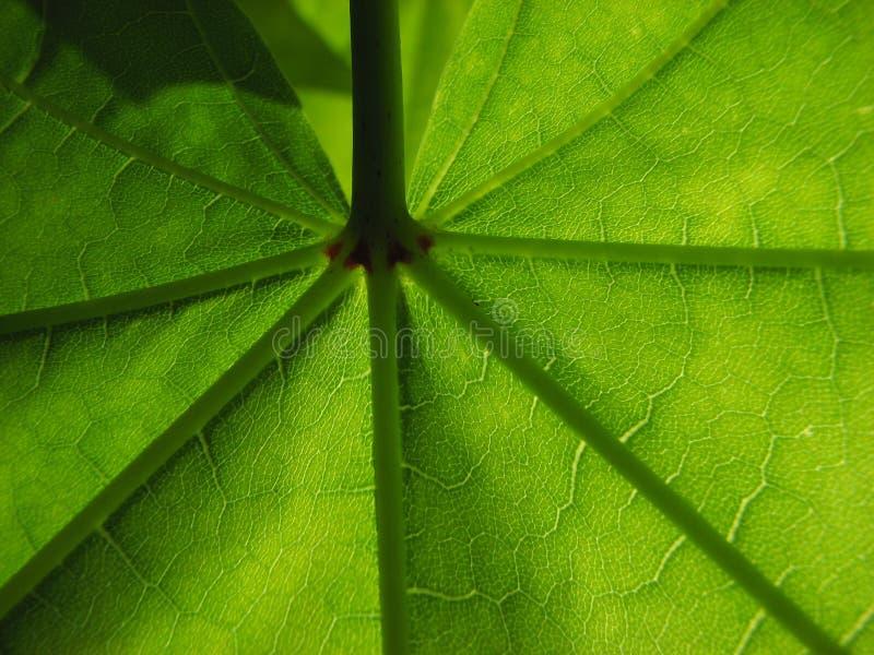 美妙绿色叶子的槭树 免版税库存照片