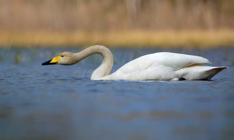 美洲天鹅在serch的filteri水与落从额嘴的小滴的食物的在池塘中蓝色色的水  库存图片