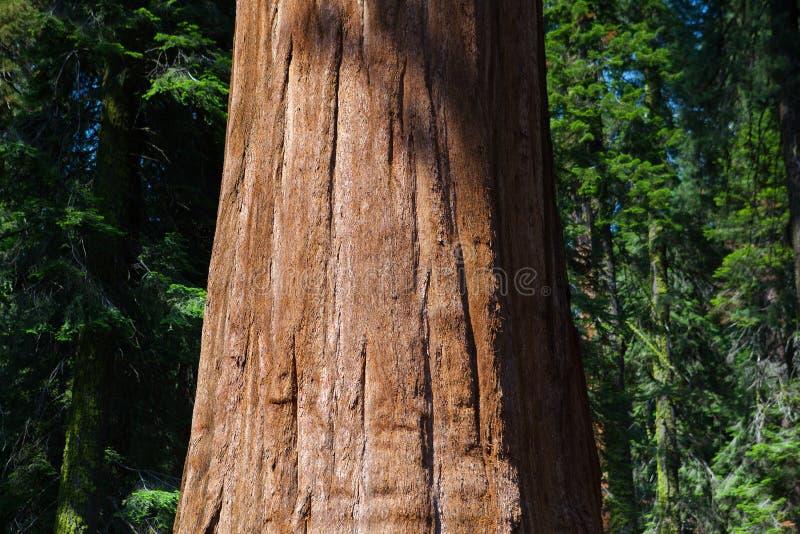 美洲杉国家公园,美国 免版税图库摄影