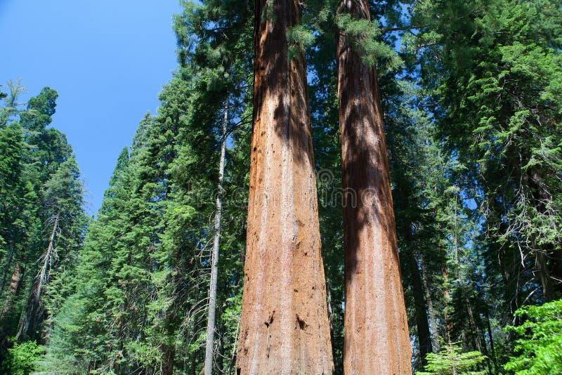 美洲杉国家公园,美国 库存图片