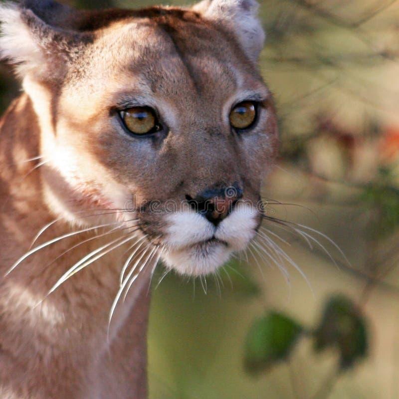 美洲狮、美洲狮或者美洲狮 免版税库存照片