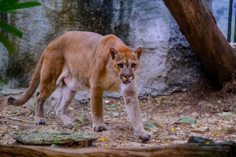 美洲狮美洲狮画象在动物园里 库存图片
