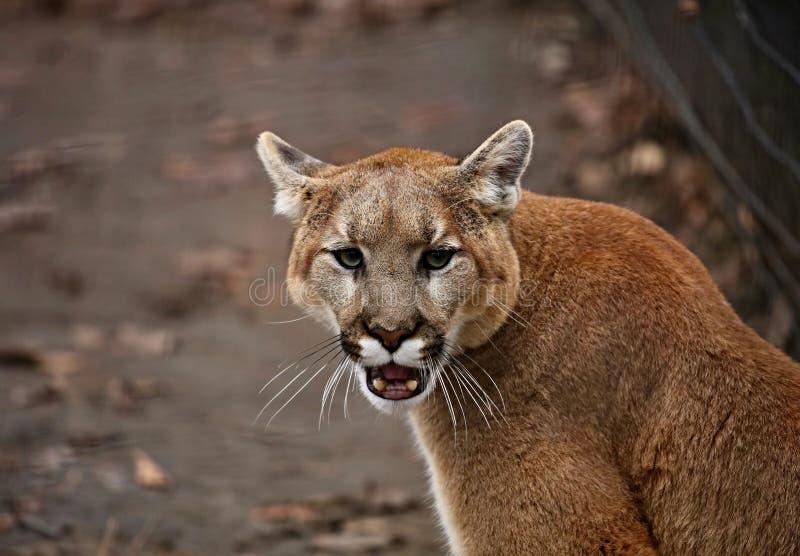 美洲狮美洲狮concolor在动物园里 免版税库存图片