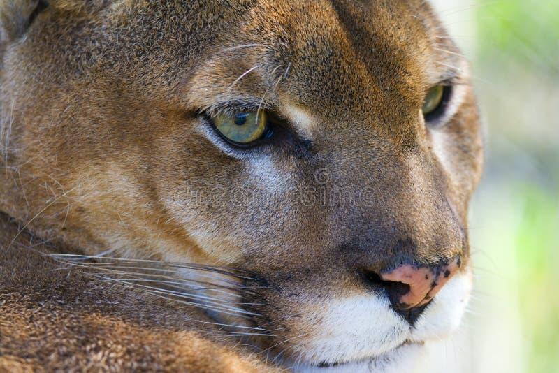 美洲狮 免版税库存图片