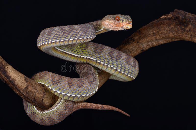 美洲红树坑蛇蝎Trimeresurus purpureomaculatus 库存图片
