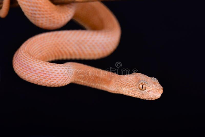 美洲红树坑蛇蝎Trimeresurus purpureomaculatus LEUCISTIC 免版税库存照片