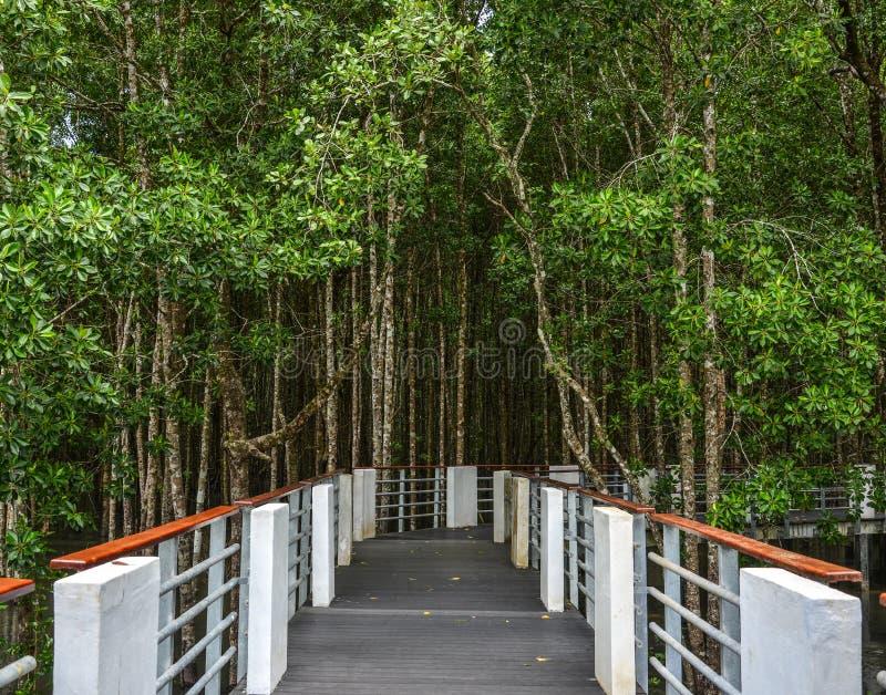 美洲红树密林走的足迹  图库摄影