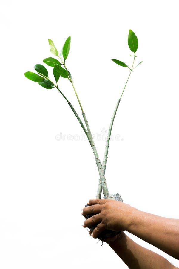 美洲红树幼木在手上 库存照片