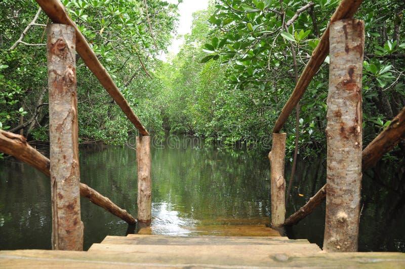 美洲红树沼泽桑给巴尔 免版税库存图片