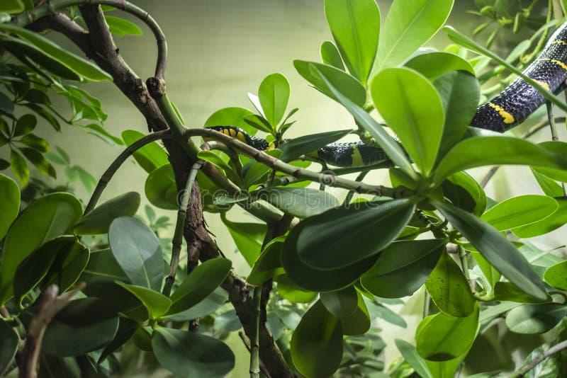 美洲红树蛇 库存照片