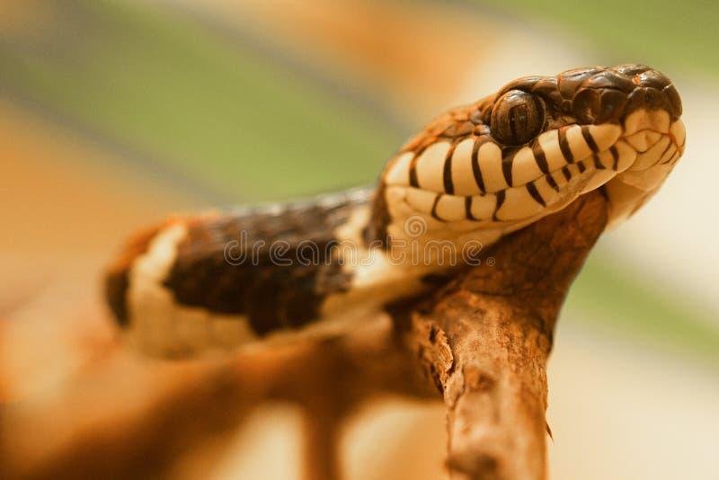 美洲红树蛇Boiga dendrophila 库存图片