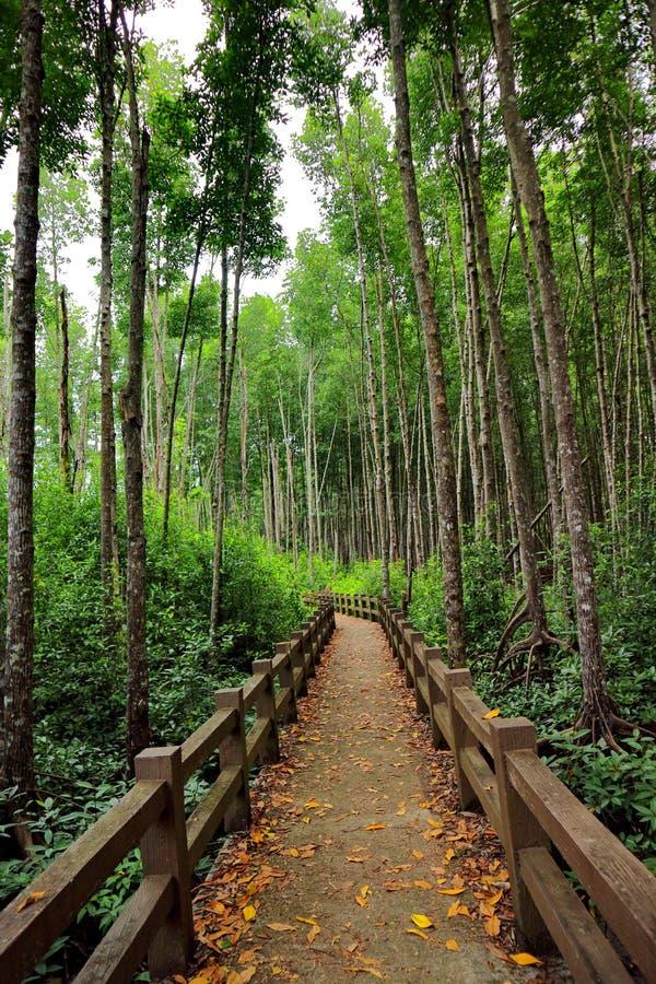 美洲红树,泰国的南部的美洲红树森林 免版税库存图片