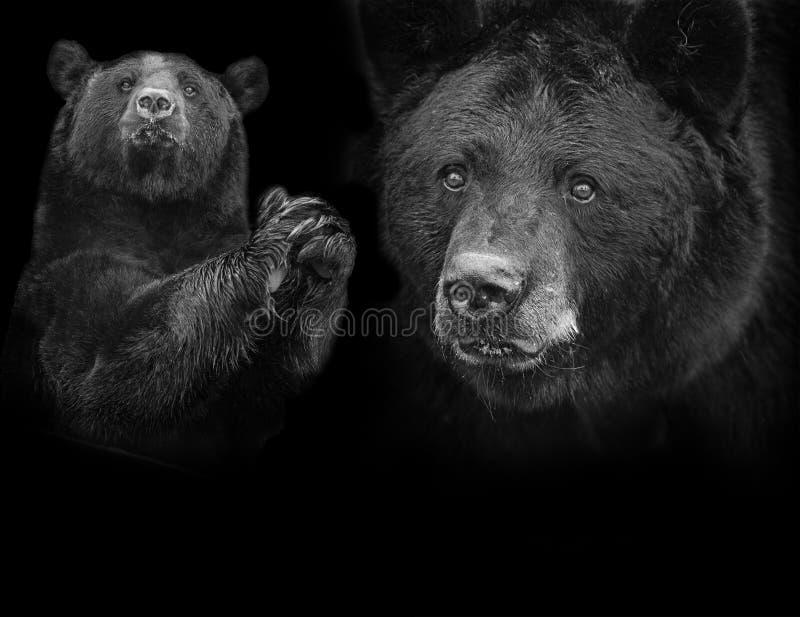 美洲美国黑熊的熊属类 免版税库存图片