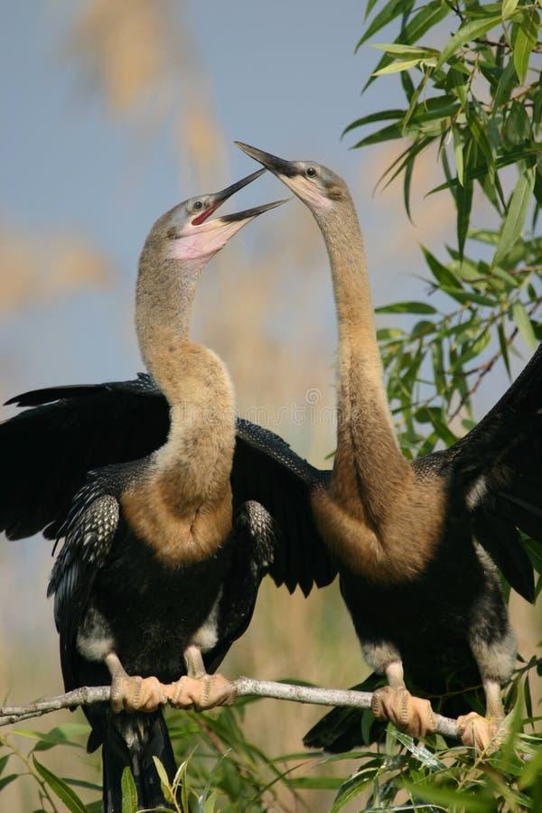 美洲蛇鸟二 库存图片