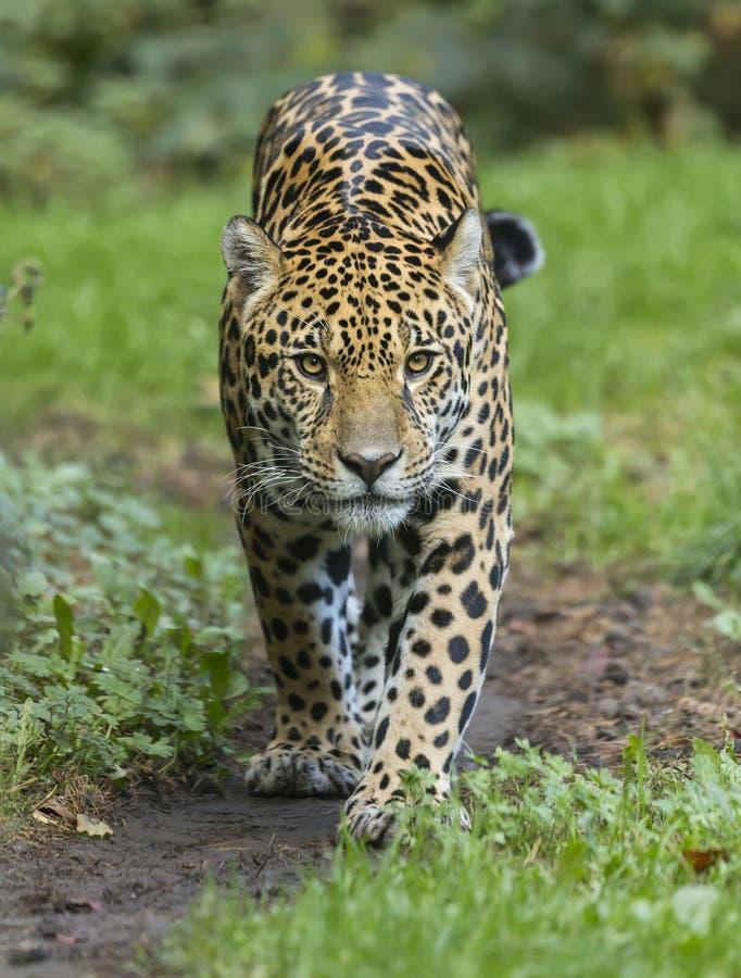 美洲豹正面特写 免版税库存图片