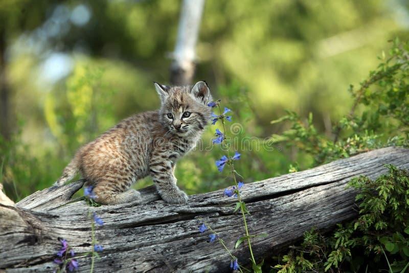 美洲野猫小猫 免版税图库摄影