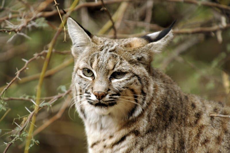 美洲野猫面孔 库存照片