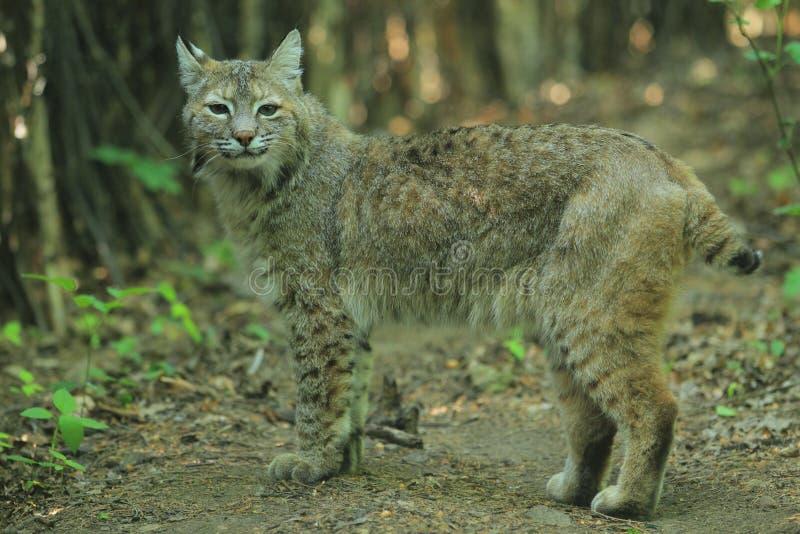 美洲野猫 库存照片