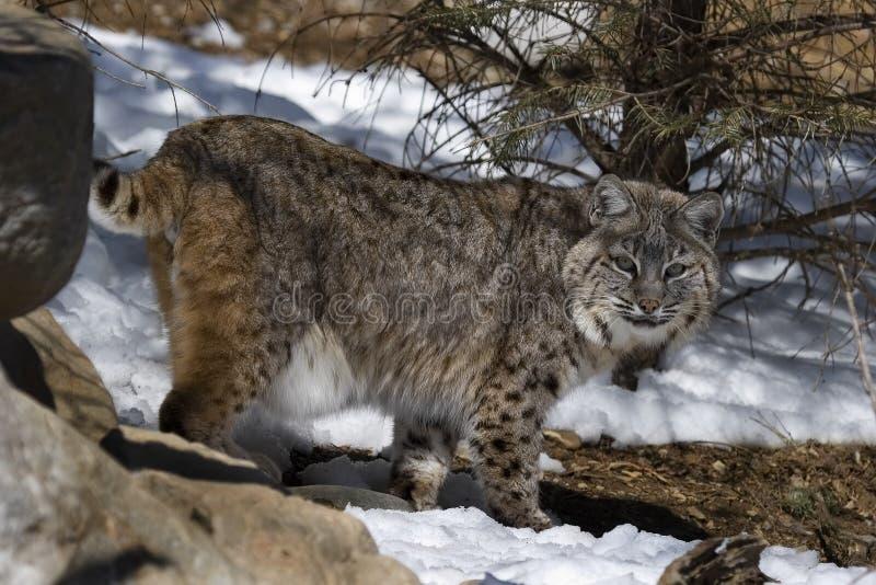美洲野猫vii 库存图片